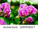 pink phalaenopsis or moth... | Shutterstock . vector #1009928317