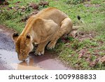 Lioness Trying To Get A Drink...