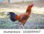 The Rooster  Elegant.