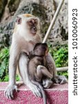 a mama monkey holding her baby...   Shutterstock . vector #1010060923