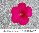 bright pink large flower of... | Shutterstock . vector #1010134687
