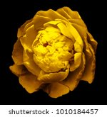 a bud of  yellow  blossoming... | Shutterstock . vector #1010184457