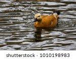fulvous whistling duck ... | Shutterstock . vector #1010198983