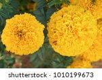 lots of beautiful marigold... | Shutterstock . vector #1010199673