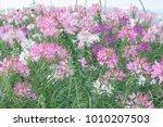 idyllic image of field of... | Shutterstock . vector #1010207503