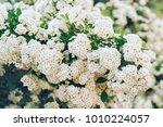 beautiful flowering branch bush ... | Shutterstock . vector #1010224057