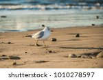 Webbed Footed Seagull Walking...
