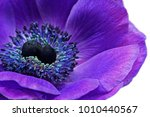 ultra violet anemone flower | Shutterstock . vector #1010440567