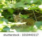 scandinavian lynx  lynx lynx...   Shutterstock . vector #1010443117