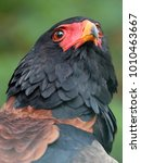 Small photo of Bateleur close-up portrait