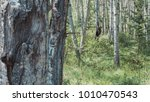grizzly in forest | Shutterstock . vector #1010470543