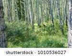 grizzly in forest | Shutterstock . vector #1010536027