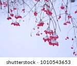 viburnum. gray branches with... | Shutterstock . vector #1010543653