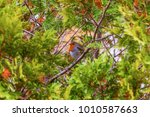 bird european robin  lat.... | Shutterstock . vector #1010587663