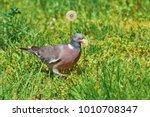 big common wood pigeon in the... | Shutterstock . vector #1010708347