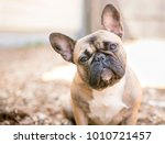 a cute fawn colored french... | Shutterstock . vector #1010721457