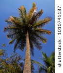 s tall coconut tree ... | Shutterstock . vector #1010741137