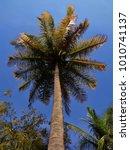 s tall coconut tree ... | Shutterstock . vector #1010741137