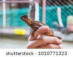 Small photo of Adjourn chameleon dragon animal Reptile Amphibian Rare animals nature Beautiful animals
