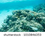 wrasse variety  brown... | Shutterstock . vector #1010846353
