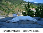 Lazy White Cat. Vernazza. Italy.