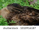 the duck lies on the grass. the ... | Shutterstock . vector #1010916187