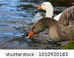 gooses are looking for foods at ... | Shutterstock . vector #1010920183