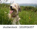 shaggy dog resting in a grass... | Shutterstock . vector #1010926357