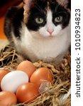 ticolor cat near nest with hen... | Shutterstock . vector #1010934823