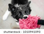 Stock photo border collie puppy playing with toy 1010941093