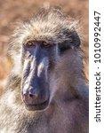 baboon staring at camera | Shutterstock . vector #1010992447