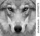 Small photo of Gimlet look straight into your soul of severe wolf female. Menacing expression of the young european wolf, very beautiful animal and extremely dangerous beast. Black and white square image.