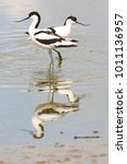 Small photo of Two avocets with reflection