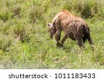 the spotted hyena  crocuta... | Shutterstock . vector #1011183433