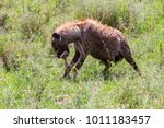 the spotted hyena  crocuta... | Shutterstock . vector #1011183457