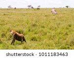 the spotted hyena  crocuta... | Shutterstock . vector #1011183463