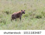 the spotted hyena  crocuta... | Shutterstock . vector #1011183487
