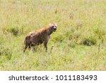 The spotted hyena  crocuta...