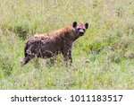 the spotted hyena  crocuta... | Shutterstock . vector #1011183517