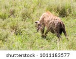 the spotted hyena  crocuta... | Shutterstock . vector #1011183577