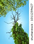 Small photo of A dried out tree seen from bellow abound of green vegetation on summer clear blue sky