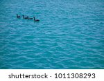 Four Canadian Geese Swim Calml...