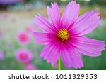 close up cosmos flower . | Shutterstock . vector #1011329353