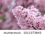 blooming lilac flowers closeup | Shutterstock . vector #1011373843