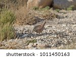 Small photo of The Sand partridge (Ammoperdix heyi) at Negev Desert, Israel