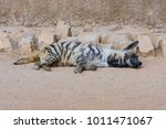 sleeping brown hyena  striped... | Shutterstock . vector #1011471067