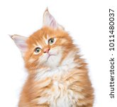 fluffy maine coon kitten... | Shutterstock . vector #1011480037