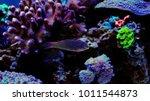 leopard wrasse saltwater fish | Shutterstock . vector #1011544873