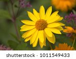 heliopsis helianthoides one... | Shutterstock . vector #1011549433