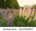 blooming lupin flower  field of ... | Shutterstock . vector #1011565927